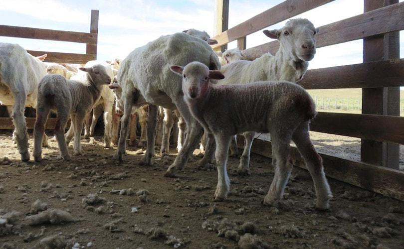 Chargeurs stopt samenwerking met schapenfokker na video Peta