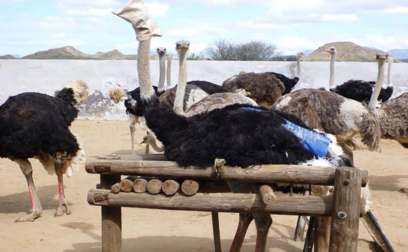 PETA wordt aandeelhouder van Prada om gebruik struisvogelleer te stoppen