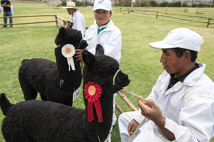 Zwarte Alpacawol: de 'Dom Pérignon' van natuurlijke vezels